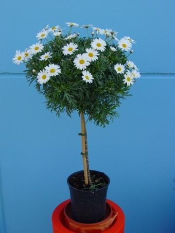 Albert plants fioraio martinsicuro piante verdi piante for Margherita pianta